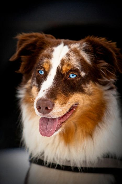 Australian Shephard.....My Ozzie....red haired Merle....but with hazel eyes....