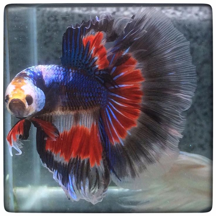 17 best images about bettas on pinterest copper auction for How big can a betta fish get