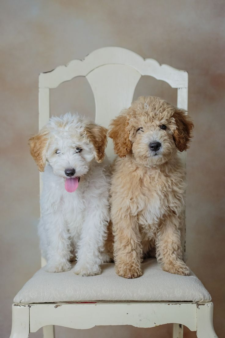 Mini Goldendoodles by www.beckkennel.com