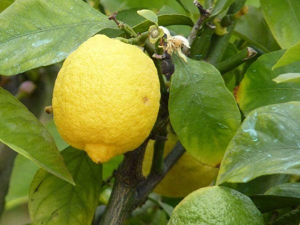 Jak wyhodować cytryne z pestki