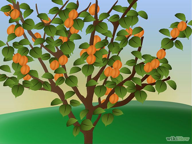 How to grow apricot tree- 11 steps