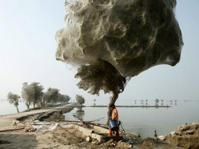 WOW! After the 2010 flood in Pakistan, the spiders kept busy covering all of these trees with webs while waiting for the waters to recede! Disgusting and awesome!