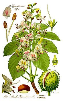 Aesculus hippocastanum: horse chestnut. Large sticky buds in winter. Conkers in Autumn,