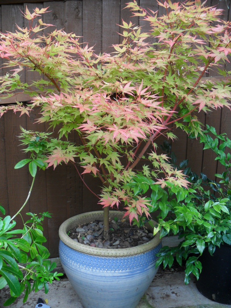 Coral bark japanese maple bonsai