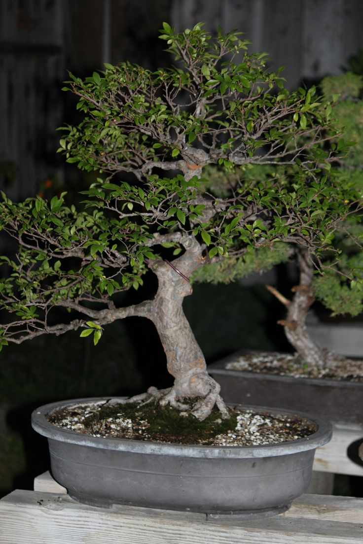 1000 Ideas About Chinese Elm Bonsai On Pinterest Bonsai Bonsai