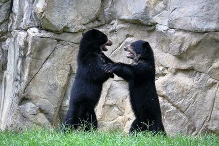 Learn all you wanted to know about spectacled bears with pictures, videos, photos, facts, and news from National Geographic.