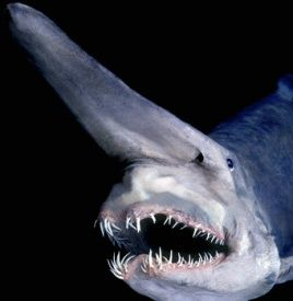 Mitsukurina owstoni (Goblin Shark)  found at continental shelf levels 330' to deep sea depths 4300' the shelf is where most deep sea commercial fishing is done. Scientific Name: Mitsukurina owstoni Rank: Species Higher classification: Mitsukurina; http://en.wikipedia.org/wiki/Goblin_shark