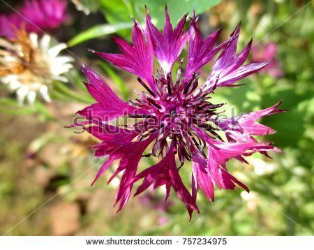 Cornflower Leaves Are Used As A Seasoning For Canning And In Meat Products Have The Aroma Of Mint Cloves Lemon Flowers Photography