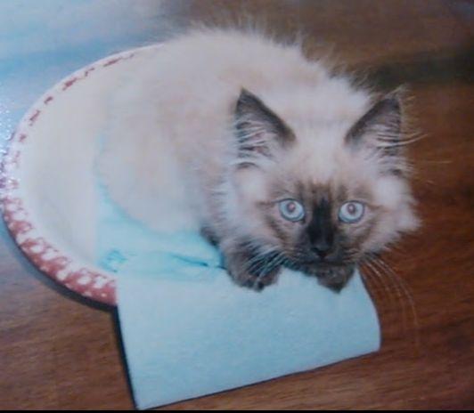 Himalayan kitten in a bowl