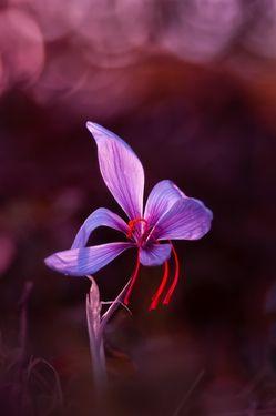 Purple Saffron crocus