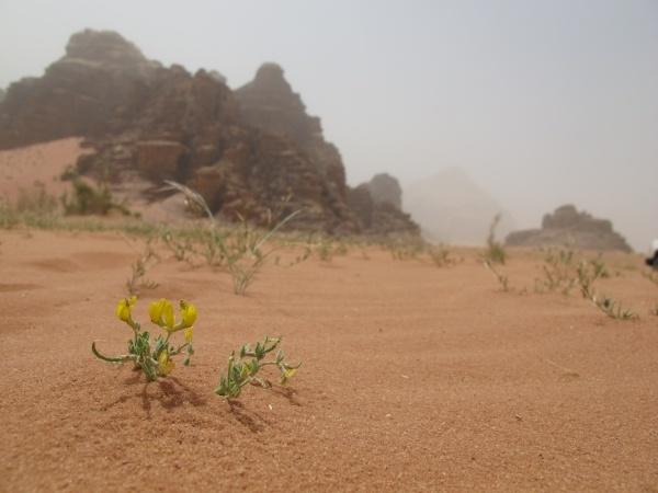 Wüstenblumen - es gibt sie doch. Foto: Doris