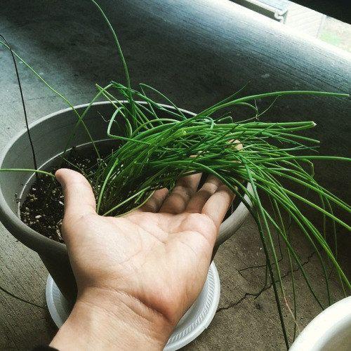 Cebollín. | 16 Plantas para sembrar y cocinar en casa