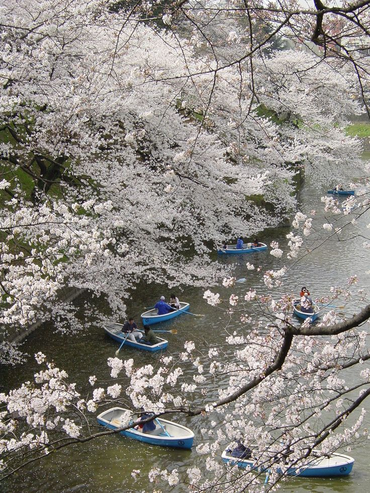 Dreamy cherry blossoms scenery! Who would not enjoy a stroll in one of those boats! #Japaneasy