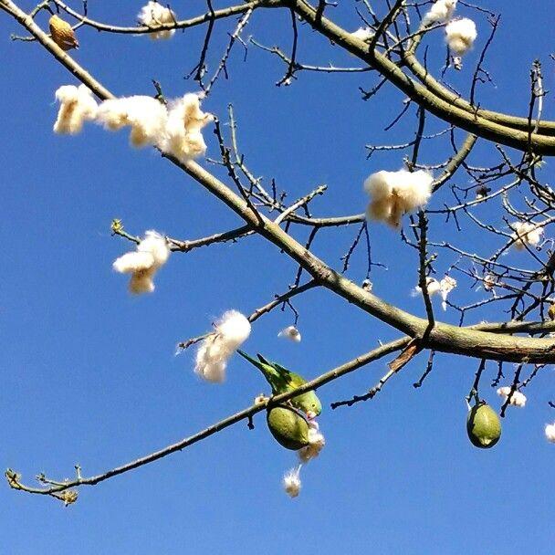 Parakeet eating from a Floss Silk Tree. Arcadia, California. 5 Apr, '14.