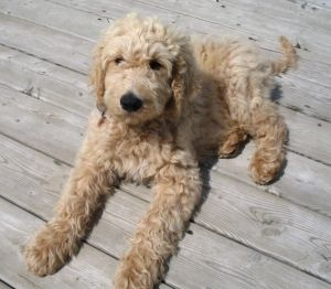Golden Portuguese Water Dog | www.pixshark.com - Images ...