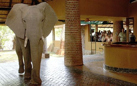 It's not everyday that you see a wild elephant standing next to you at the   reception of a hotel.