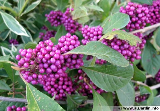 Callicarpa bodinieri 'Profusion' / calicarpa japonica (winter berries)