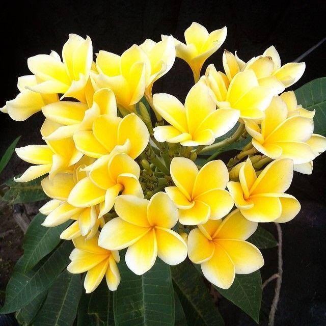 Bunga Kamboja Kuning Flowers Plumeria Flowers Gold Hair Colors