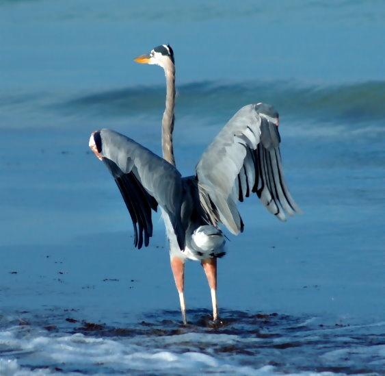 Blue Heron Indian Rocks Beach Florida