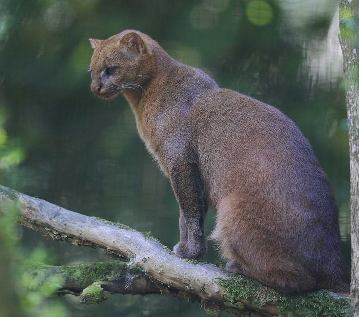 17 meilleures images propos de gros chats sur pinterest nature fils et jungles. Black Bedroom Furniture Sets. Home Design Ideas