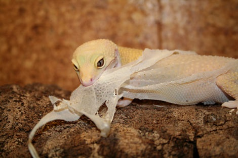 Eating his own old skin  - Muda de piel Geckos Leopardo