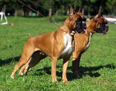 BoxerBoxers Pets, Puppies Dogs, Boxers Dogs, Boxers Animal, Animal Birds Critt, Amateur Pictures, Boxers Bulldogs, Art Boxers, Boxers Crop Ears