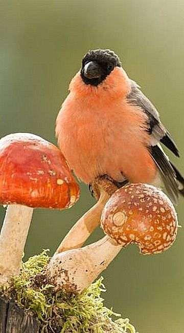 Mushrooms match | close up of male bullfinch on a mushroom looking and titmouse under it...