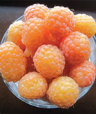 """Yellow Raspberry """"Honey Queen"""".  Fresh eating only.  identical in growth and care to red raspberry, but is more fragile and delicious.  Likes higher pH soil levels, less productive than red raspberry.  Many viruses, important to buy only certified virus free stock: Honey Queen, Golden Harvest, or Goldie."""