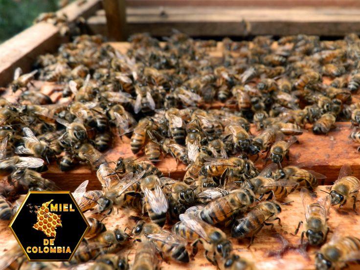 Lograr lo antes posible colonias fuertes bien pobladas para el pico de la floración. Solo las colmenas fuertes producen miel, polen etc. y para llegar a ser fuertes deben tener una reina eficiente . Es preferible tener la mitad de las colmenas pero que sean fuertes. La producción de miel incrementa al cuadrado en relación al incremento de la población de abejas En la gran mayoría de los casos el desarrollo de una colonia depende de la calidad de su reina. pedidos: 3012020777 - 3117402833