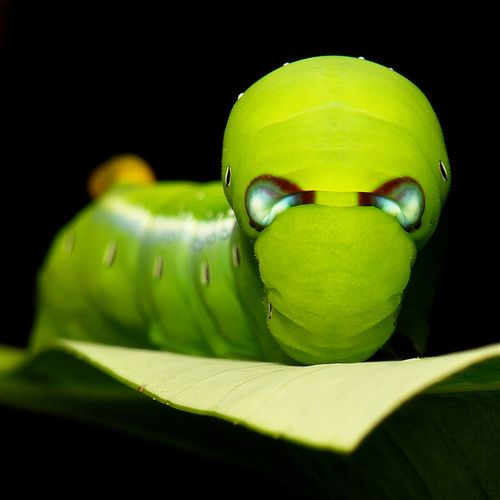 "Caterpillars can be fantastically beautiful creatures. -""Daphnis nerii"" or the O… – Felicia Thomas"