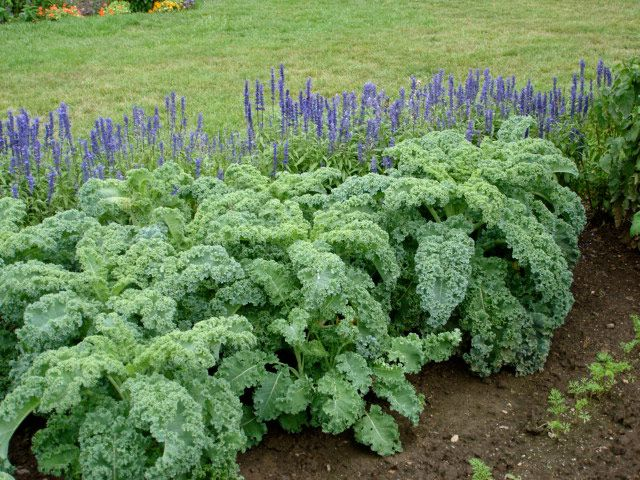 Kale Tips on Growing: Growing Kale, Grow Kale, Green Thumb, Garden Ideas, Kale Plant, Vegetable Garden, Nutritious Plant