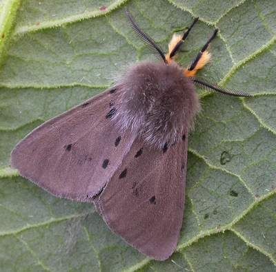 Muslin Moth, Diaphora mendica http://www.suffolkmoths.org.uk/cgi-bin/mos/account.cgi?code=2063