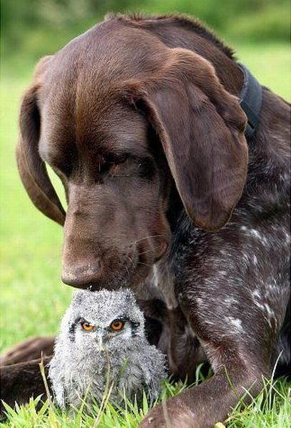 A little baby white faced scops owl has found a friend in Kiera the German Pointer.