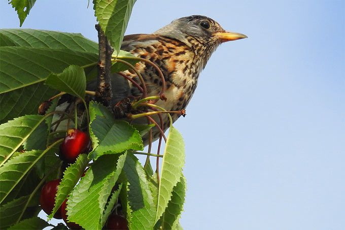 Eigentlich ist es ganz leicht, Vögel in den eigenen Garten zu locken. Ob mit heimischen Hecken, Vogeltränken oder alten Bäumen: Wir geben viele Tipps, wie man guter Gastgeber für Vögel werden kann.