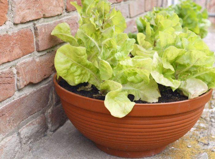 Noch ein anspruchsloses Gewächs ist der Pflücksalat. Die Samen werden im Frühjahr einfach auf die Erde in einen Topf gestreut und schön feucht gehalten. Decken Sie die Samen aber nicht mit Erde ab, denn der Salat ist ein Lichtkeimer und braucht daher einen sonnigen Standplatz. Besonders ertragreich ist der Salat, wenn zwischen den einzelnen Pflanzen ca. 20 cm Abstand besteht. Wichtig: Giessen Sie den Pflücksalat immer von unten, so dass Pflanze und Blätter nicht nass werden. Foto ©…