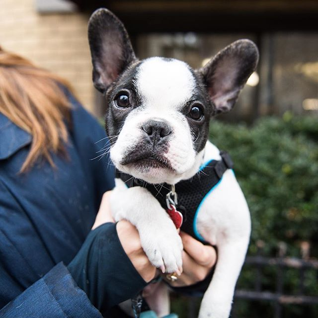 "Remy, French Bulldog Puppy (4 m/o), 10th & 4th Ave., New York, NY • ""He's a rescue from Florida and an avid snuggler."" @remythefrenchiepup"