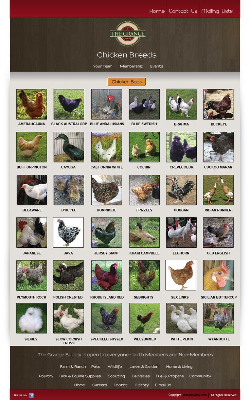Chicken Breeds sus mascotas favoritas jejeje