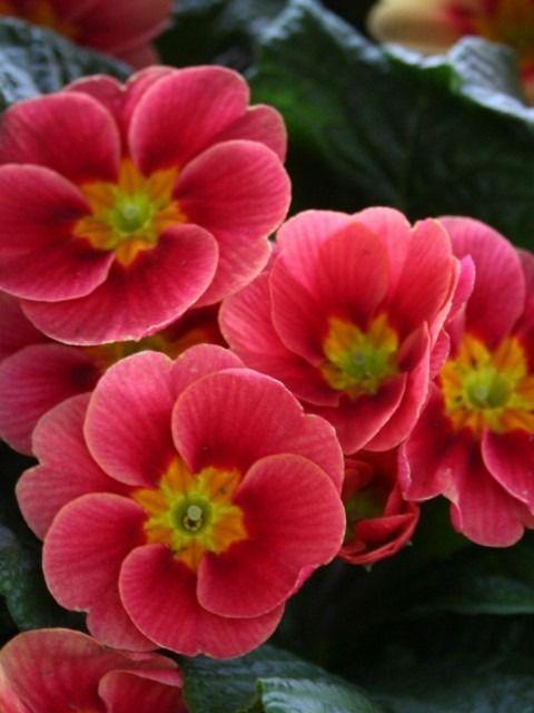 Primula vulgaris (primrose, syn. P. acaulis (L.) Hill) is a species of flowering…