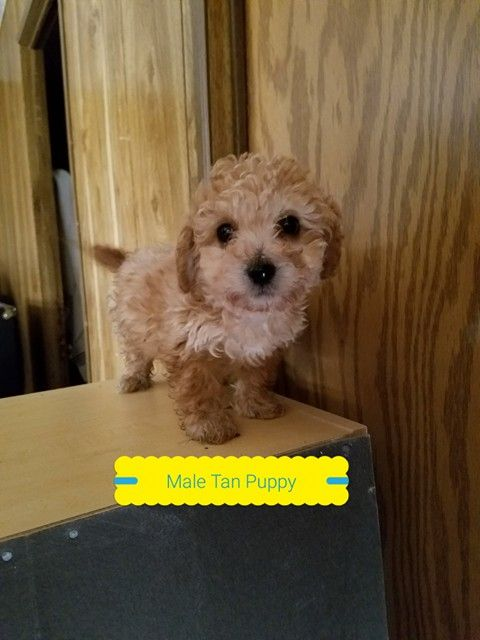 Litter Of 3 Maltipoo Puppies For Sale In Denver Co Adn 59544 On