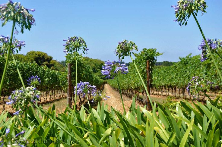VINEYARDS, Klein Constantia wine farm, Constantia, Cape Town, south Africa Fun Things To Do In Cape Town This Summer Nomadic Existence
