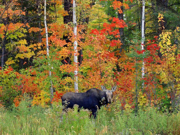 Moose, Algonquin Provincial Park (Photo Credit: Peter Ferguson)