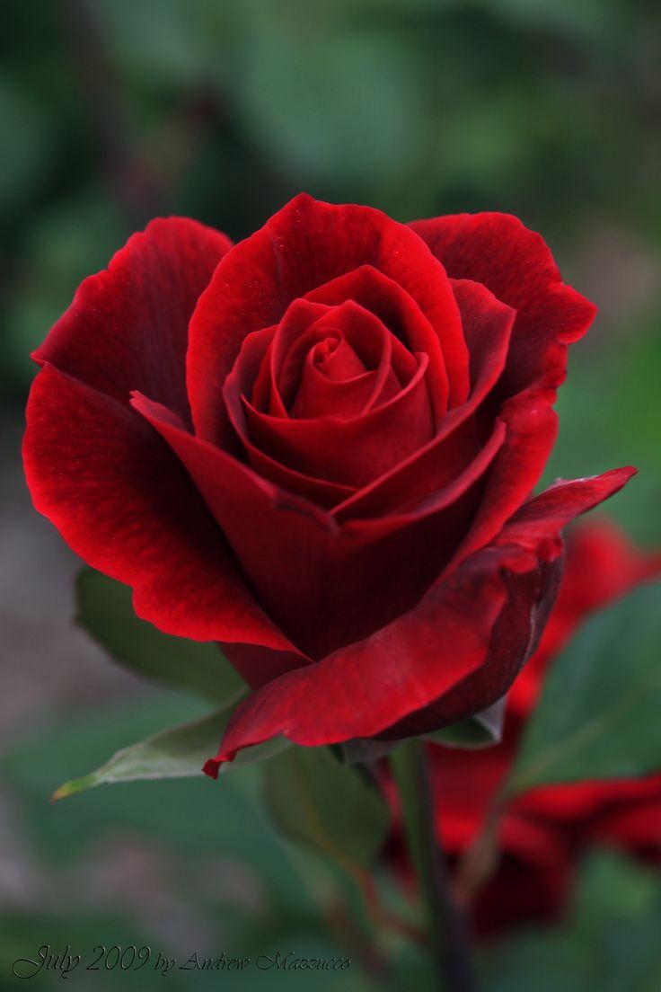 Pics of rose