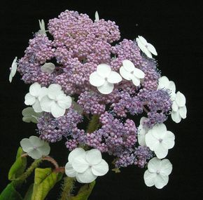 Hydrangea aspera ssp. sargentiana is an award-winning hydrangea with pink and white lacecap flowers and amazing velvety mid-green leaves with pink veins.