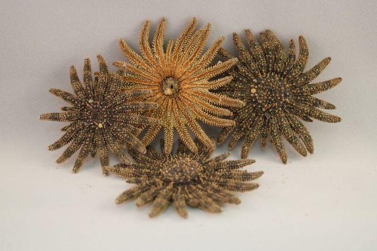 "Multileg Sunflower Starfish Sea Shell Wedding Real Beach Craft 2"" - 3"" (4 pcs) | Collectibles, Rocks, Fossils & Minerals, Shells | eBay!"