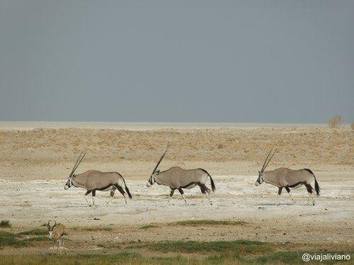 Orix Etosha National Park Namibia