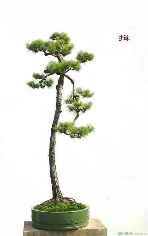 Japanese White Pine Bonsai, Literati style (Bunjingi).