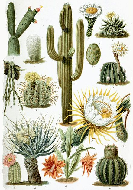 """A cactus [3] is a member of the plant family Cactaceae, a family comprising about 127 genera with some 1750 known species of the order Caryophyllales.[4] The word """"cactus"""" derives, through Latin, from the Ancient Greek κάκτος, kaktos, a name originally used by Theophrastus for a spiny plant whose identity is not certain.[5] Cacti occur in a wide range of shapes and sizes. Most cacti live in habitats subject to at least some drought. Many live in extremely dry environments, even being found…"""