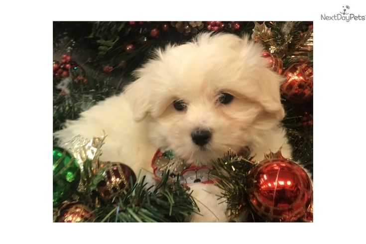 I Am A Cute Maltese Puppy Looking For A Home On Nextdaypets Com