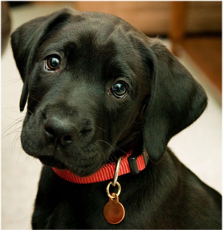 black labrador retriever | labrador-retriever-black-18 for Labrador Retriever Black