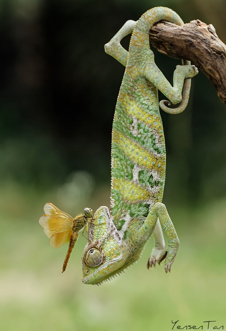 A Veiled Chameleon ~ With Dragonfly Atop His Head!   (Photo By: Tantoyensen on 500px.)